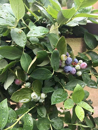 MindSqueezeCreative - picture of blueberries - gardening to stop being stressed